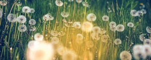 306_summer-allergies-field-of-dandlions-628x250